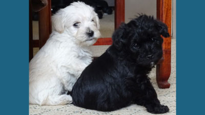 Schnoodle 4