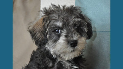 Schnoodle 5