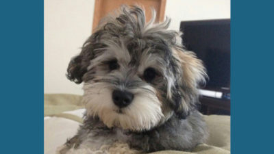 Schnoodle 6