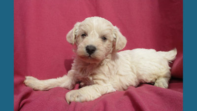 Schnoodle 7