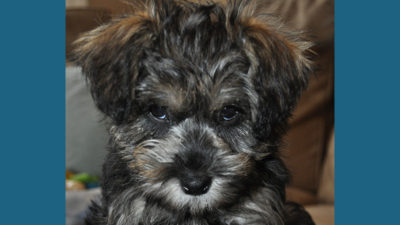 Schnoodle 8