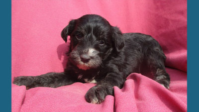 Schnoodle 9