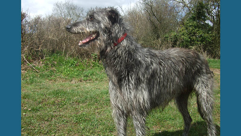 Scottish Deerhound 1