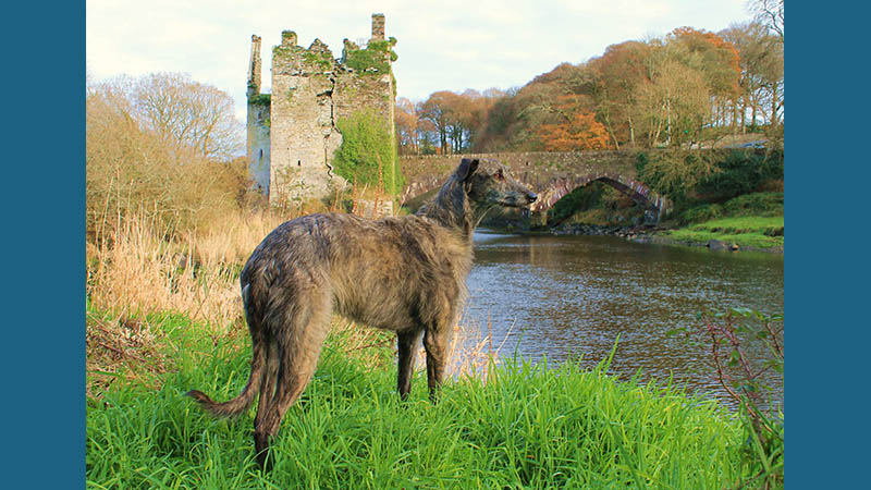 Scottish Deerhound 10