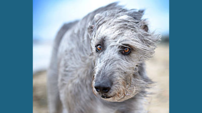 Scottish Deerhound 11