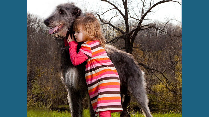 Scottish Deerhound 12