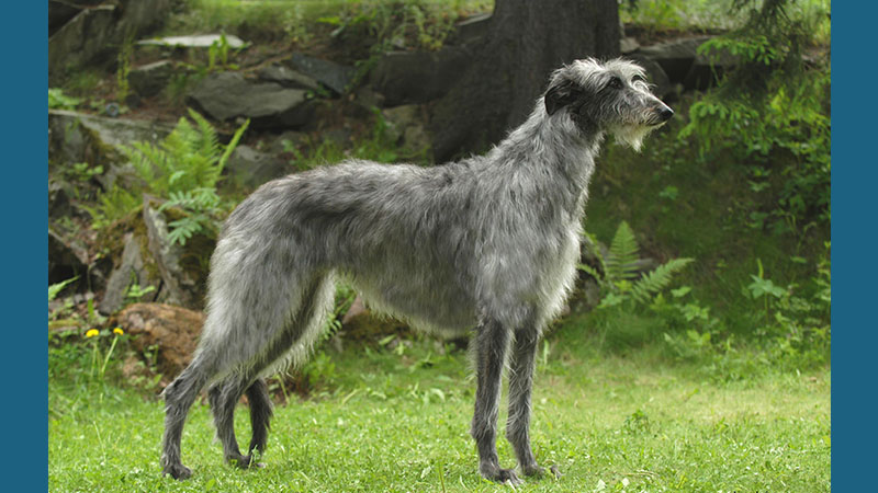 Scottish Deerhound 14