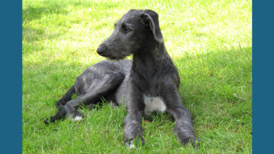 Scottish Deerhound 4