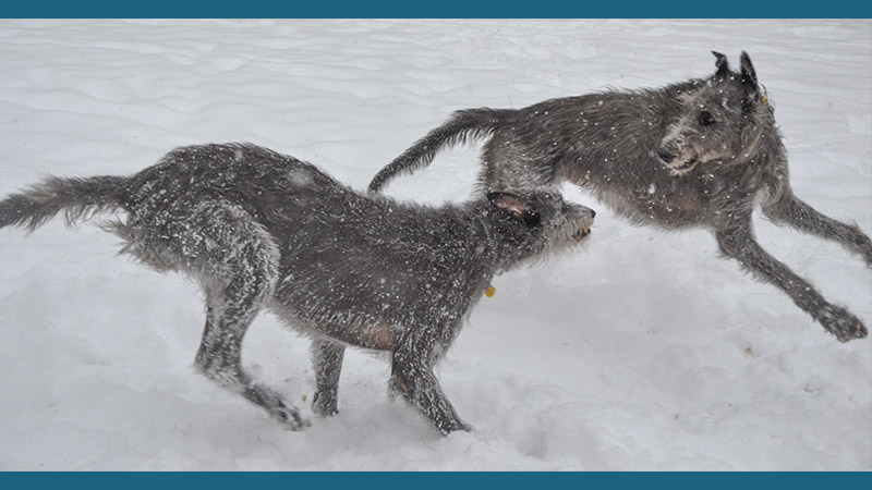 Scottish Deerhound 5