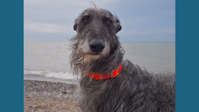 Scottish Deerhound 6