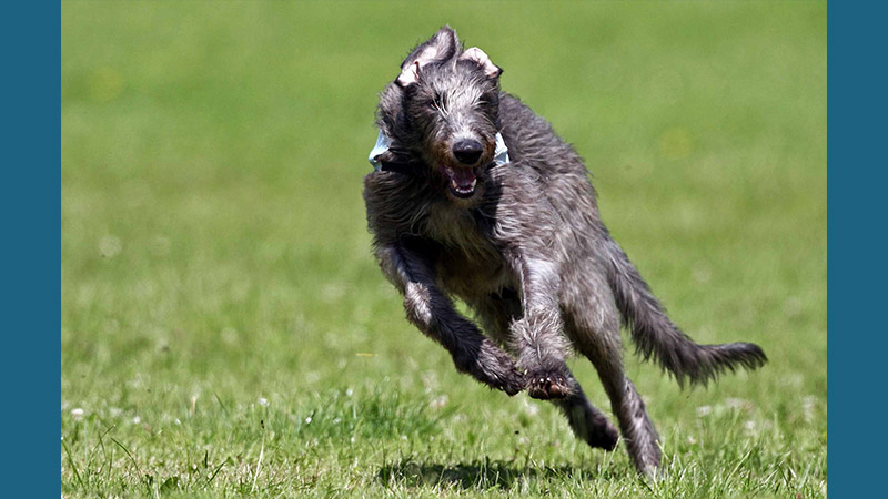 Scottish Deerhound 8