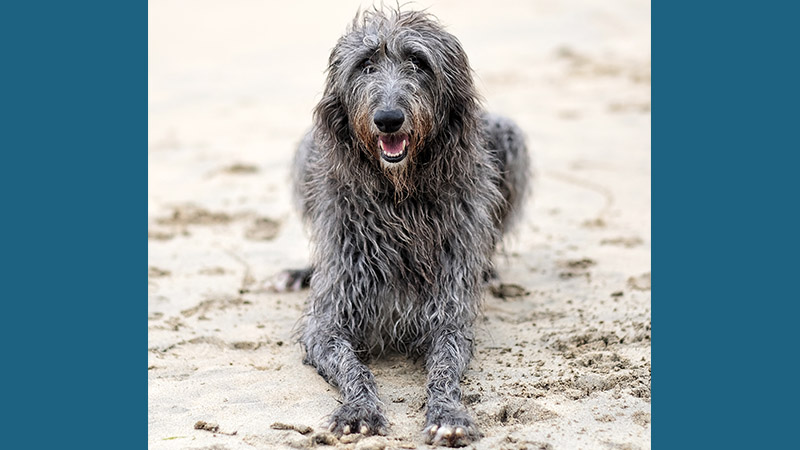 Scottish Deerhound 9