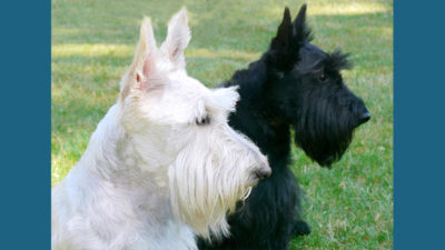 Scottish Terrier 1