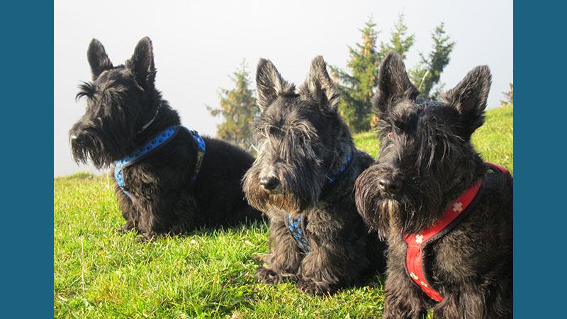 Scottish Terrier 10