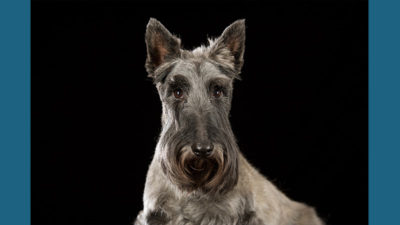 Scottish Terrier 11