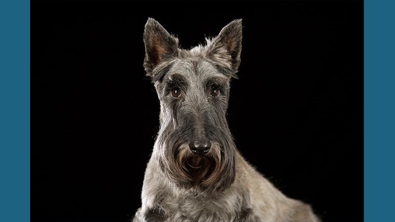 Scottish Terrier 11