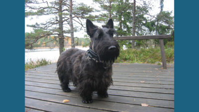 Scottish Terrier 12