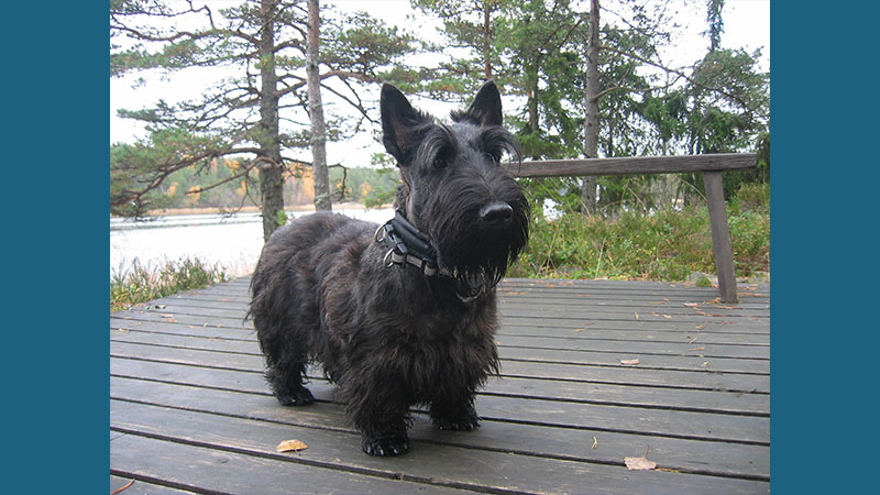 Scottish Terrier 12