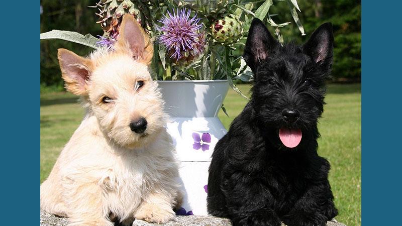 Scottish Terrier 13