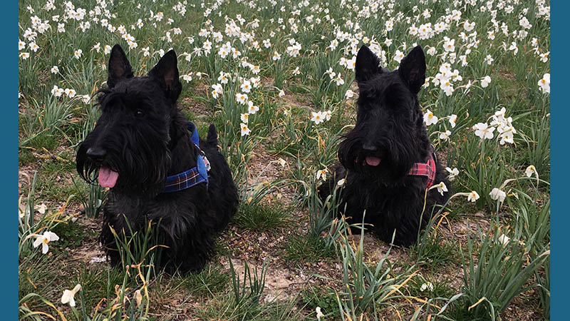 Scottish Terrier 14