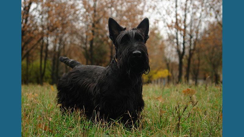 Scottish Terrier 2