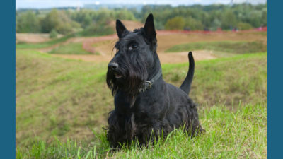 Scottish Terrier 3