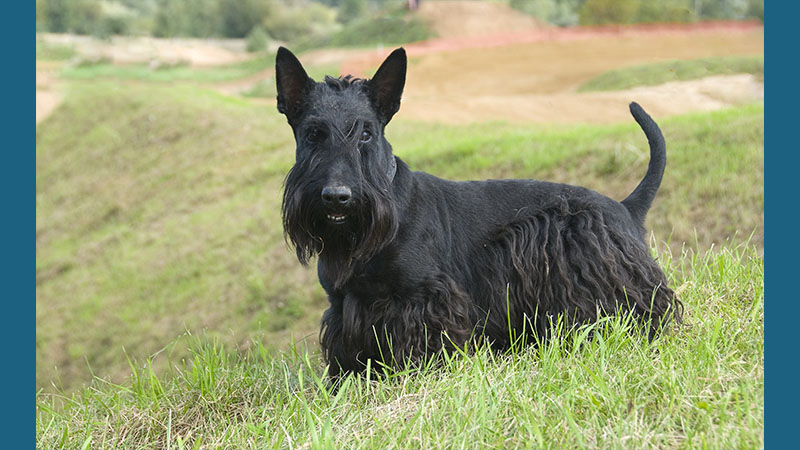 Scottish Terrier 4