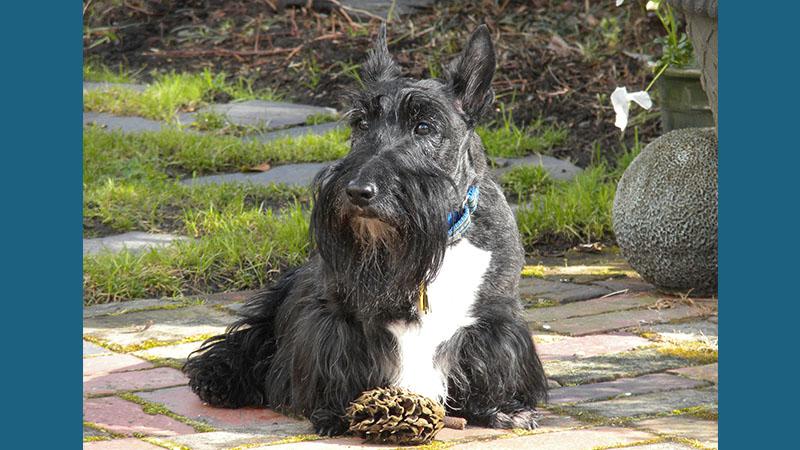 Scottish Terrier 5