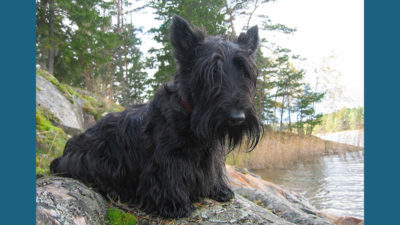 Scottish Terrier 6