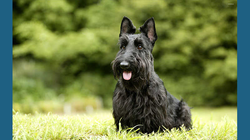 Scottish Terrier 7