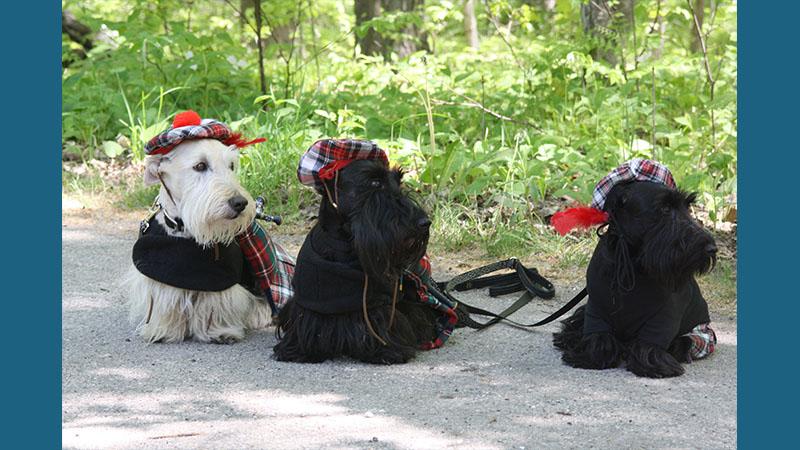 Scottish Terrier 8