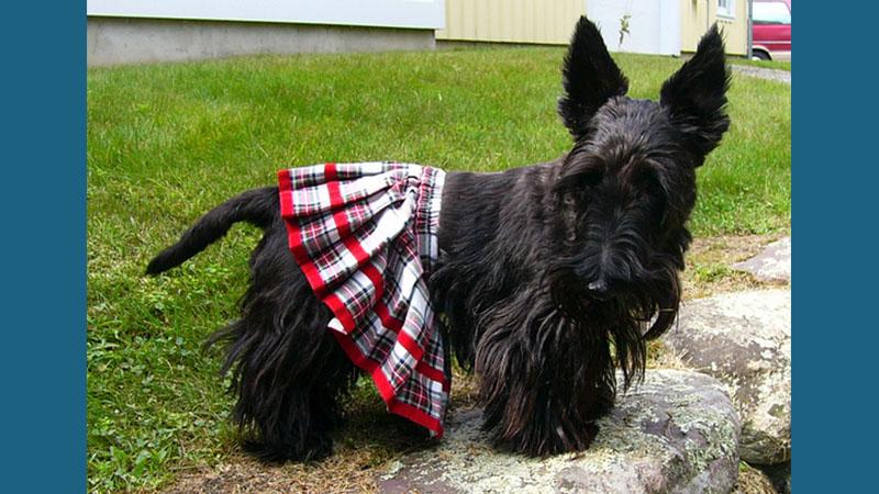 Scottish Terrier 9
