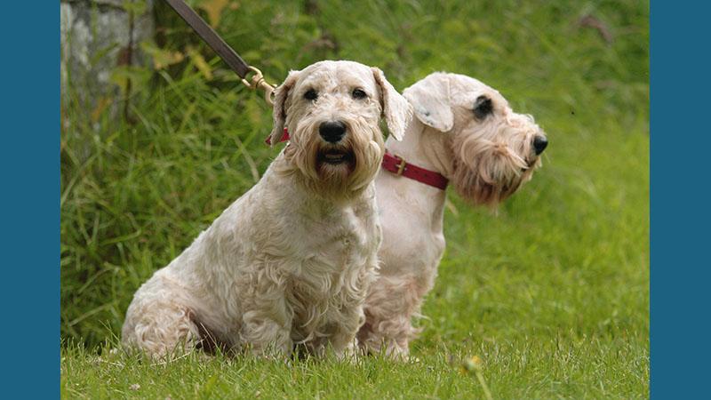 Sealyham Terrier 1