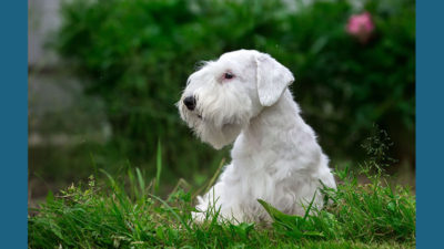 Sealyham Terrier 2