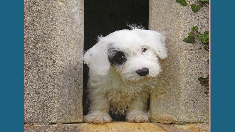 Sealyham Terrier 3