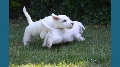 Sealyham Terrier 4
