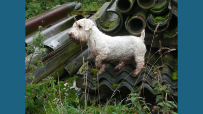 Sealyham Terrier 5