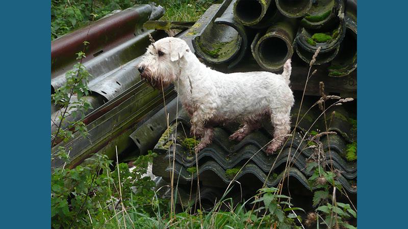 Sealyham Terrier 5