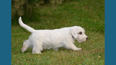 Sealyham Terrier 6