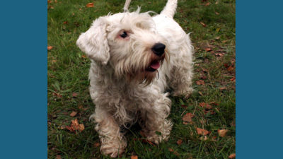 Sealyham Terrier 7