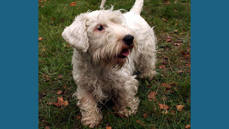 Sealyham Terrier 7