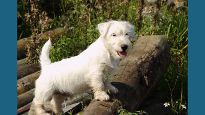 Sealyham Terrier 8