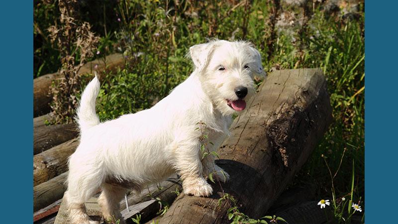 Sealyham Terrier 8