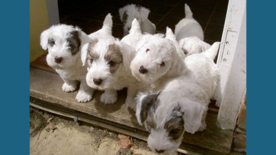 Sealyham Terrier 9