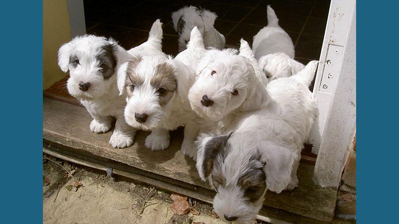 Sealyham Terrier 9