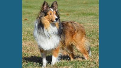 Shetland Sheepdog 10