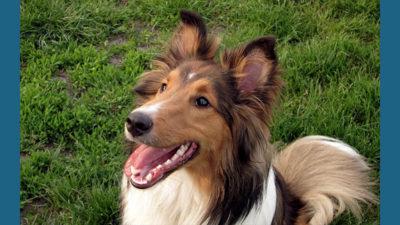 Shetland Sheepdog 13
