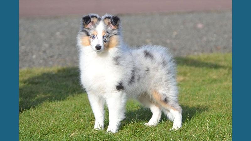 Shetland Sheepdog 15