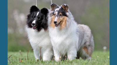 Shetland Sheepdog 16
