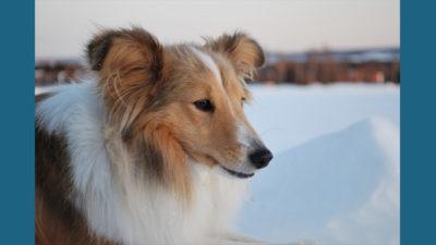 Shetland Sheepdog 5